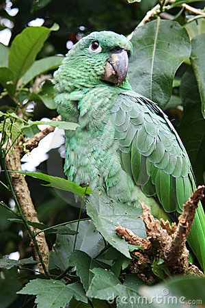 Grüner tropischer Papagei