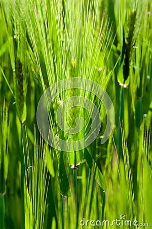 Grünes Korn des Getreides pflanzt wachsende Spitzen auf Frühling