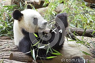 gro er panda der bambus isst stockfotografie bild 32416842. Black Bedroom Furniture Sets. Home Design Ideas