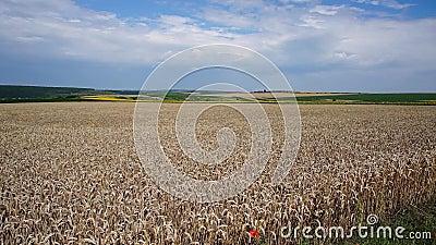 Großes Feld des Weizens stock video