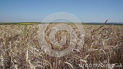 Großes Feld des Weizens stock video footage