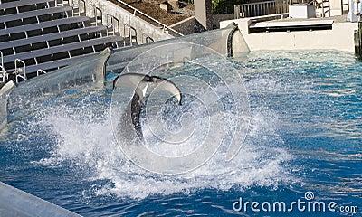 Großes Wasser Splah durch Mörder Whal