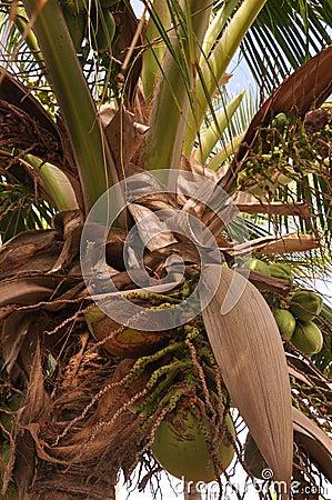 Groeiende kokosnoten