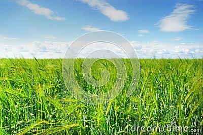 Groen gerstgebied en blauwe hemel