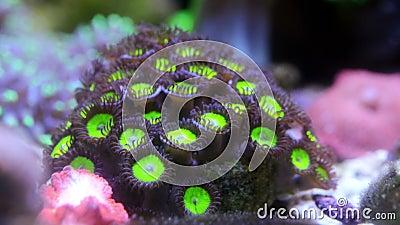 Groene appel-zoanterid-koraalpolyp stock videobeelden