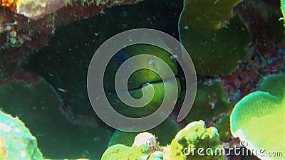 Groene Moray Eel-gezicht dicht bij het kleurrijke koraalrif-hotel dat gevaarlijk lijkt stock video