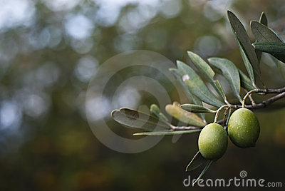 Groene olijven op tak