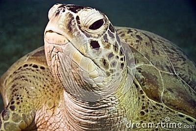 Groene schildpad (cheloniamydas)