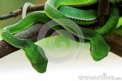 cobra houding