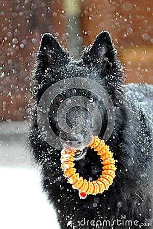 Groenendael in the snow