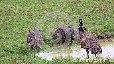 Groep Emoevogels stock video