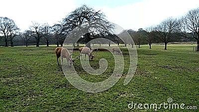 Groep herten stock footage