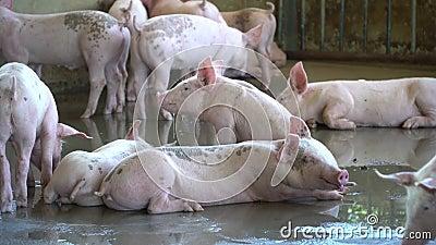 Groep varkens die er gezond uitziet in de lokale ASEAN-varkenshouderij bij vee Het concept van gestandaardiseerde en schone landb stock video