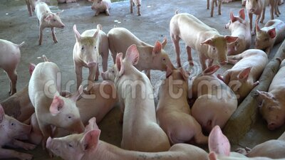 Groep varkens die er gezond uitziet in de lokale ASEAN-varkenshouderij bij vee Het concept van gestandaardiseerde en schone landb stock videobeelden