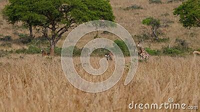 Groep Wilde Afrikaanse Giraffen die Geel Gras van Savannah In Dry Season weiden stock video