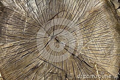 Großer Baumdurchschnitt