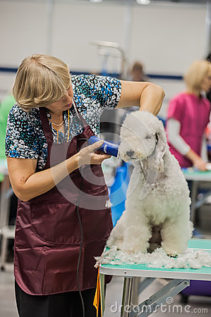 Grooming dogs at the show
