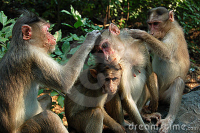 Grooming Macaque Monkeys