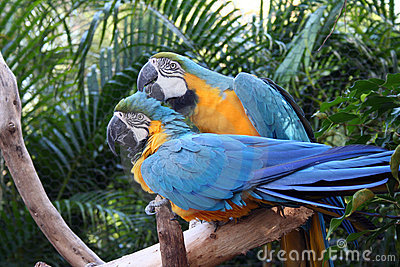 The Grooming Macaws