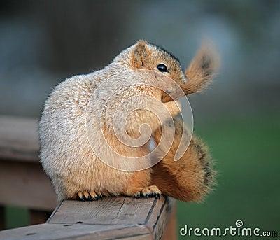 Grooming Squirrel
