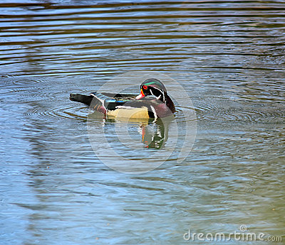 Grooming Wood Duck