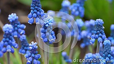 Gros plan d'une fleur Muscari première fleur de printemps bleue banque de vidéos