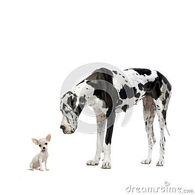 Grote Deen en Chihuahua