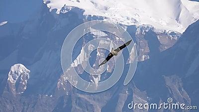 Grote Eagle Bird Flying Over Himalayan-Bergketen stock videobeelden