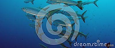 Grote School van de vissen van de Chevronbarracuda stock footage