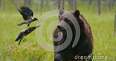 Grote volwassen bruin draagt eet terwijl de vogels rond in het bos vliegen stock videobeelden