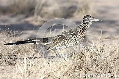 Grotere Roadrunner (californianus Geococcyx)