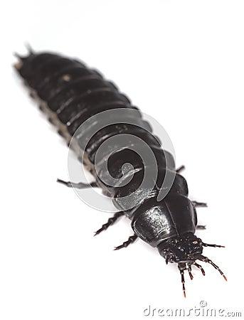 Ground beetle larvae.