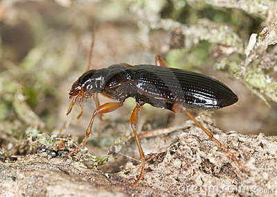 Ground beetle on wood