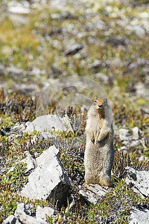 Ground canadian squirrel
