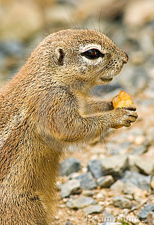 Ground cape squirrel