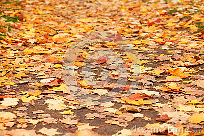 Ground covered with fallen yellow leaves