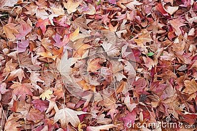 Ground covered with liquidambar sweetgum leaves