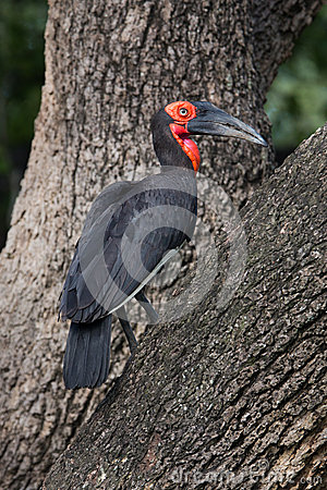 Free Ground Hornbill Bird Royalty Free Stock Photo - 29125465