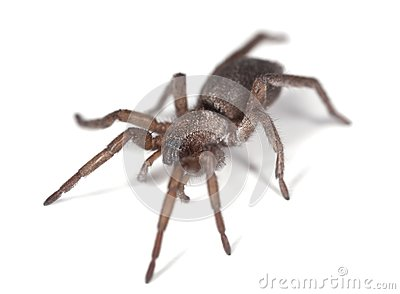 Ground spider (Gnaphosidae)