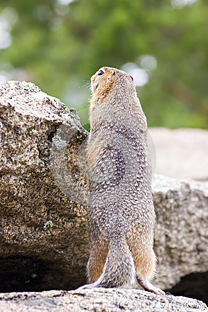 Ground squirell on the rock