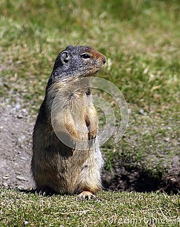 Free Ground Squirrel Royalty Free Stock Image - 337946