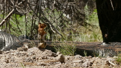 Ground Squirrel on Alert for Danger stock video