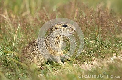 Ground squirrel baby