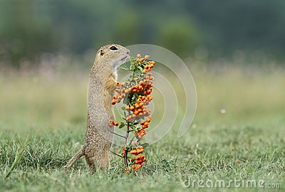 Ground squirrel with berries