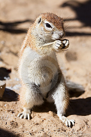 Ground Squirrel Eating Royalty Free Stock Images - Image: 9569489