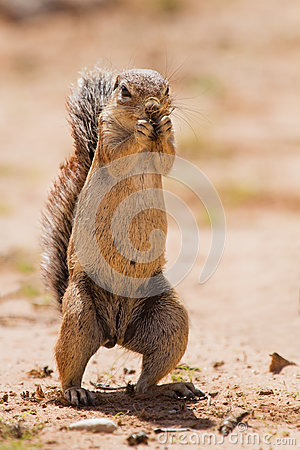 Free Ground Squirrel Eating Grass Roots In The Hot Kalahari Stock Photo - 33086430