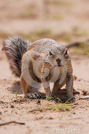 Free Ground Squirrel Eating Grass Roots In The Hot Kalahari Stock Image - 33580231