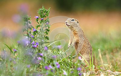 Ground squirrel and flower