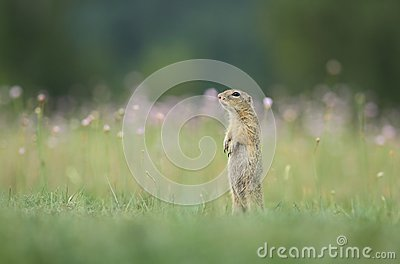 Ground squirrel on meadow