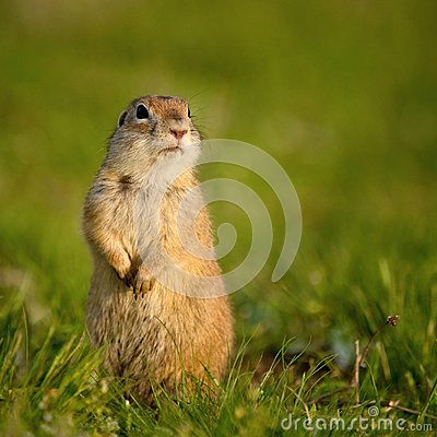 Free Ground Squirrel Spermophilus Pygmaeus Standing In The Grass Stock Photos - 102585823